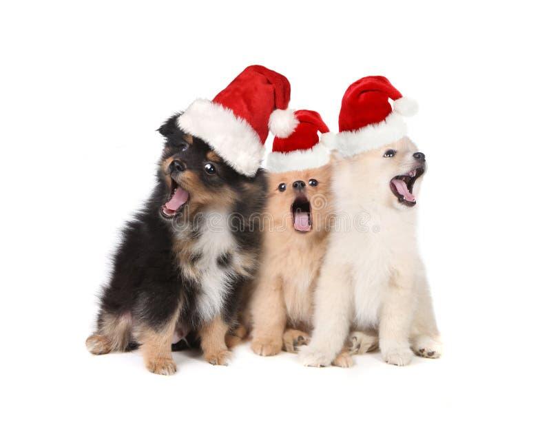 Christmas Puppies Wearing Santa Hats and Singing stock photos