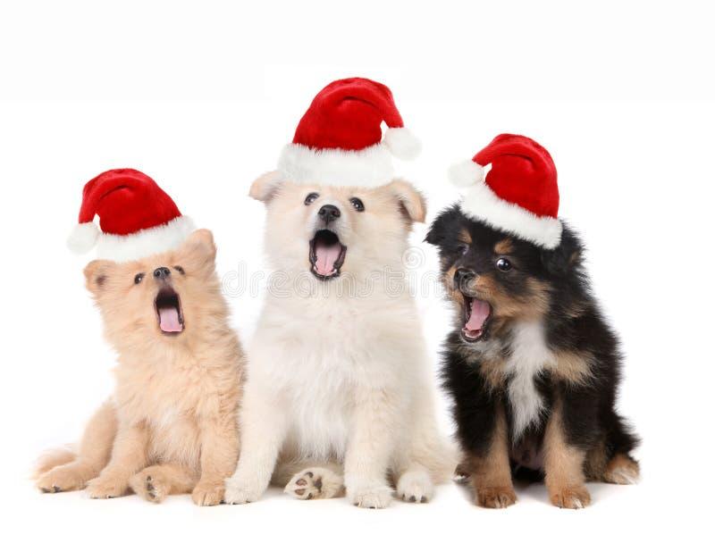 Christmas Puppies Wearing Santa Hats and Singing royalty free stock image