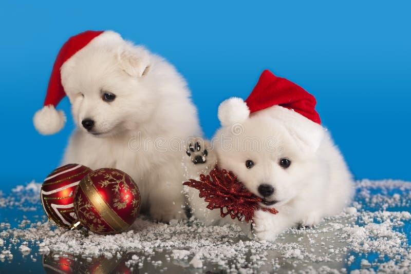Christmas puppies. White Pomeranian Spitz wearing a santa hat royalty free stock photography