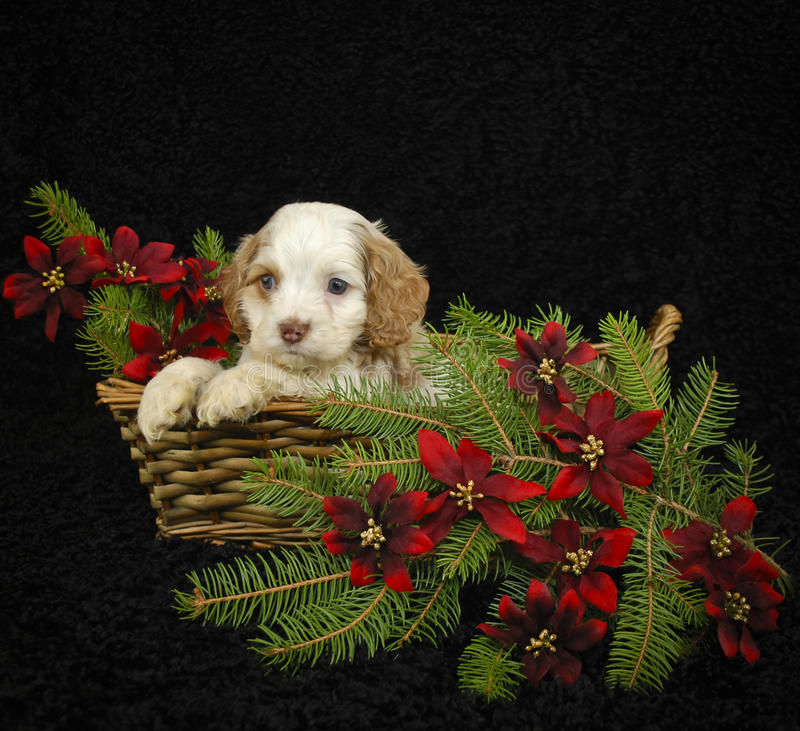 Christmas Puppy stock image