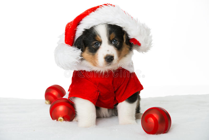 Christmas puppy royalty free stock images
