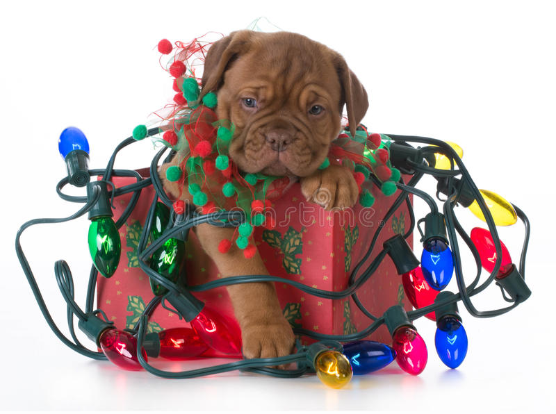 Christmas puppy. Dogue de bordeaux puppy in a christmas present tangled up in colorful christmas lights on white background
