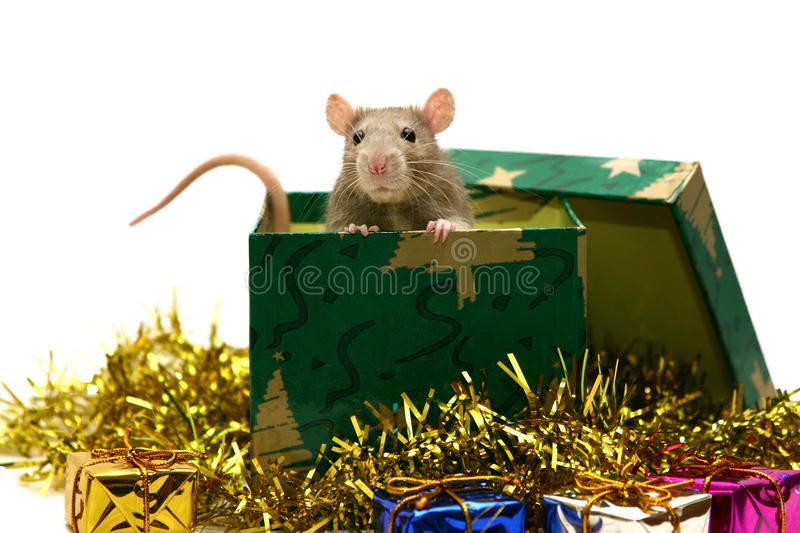 Christmas rat. A baby rat in a gift box with Christmas decorations stock photos