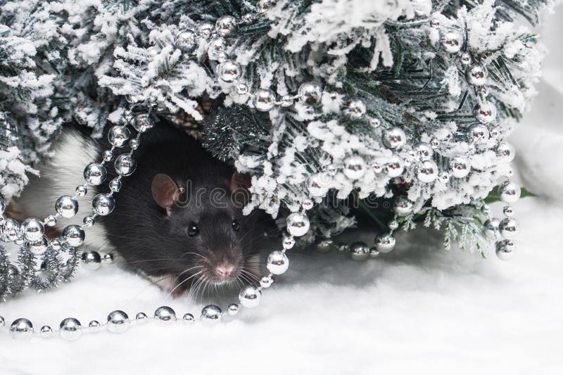Christmas rat looking at the camera on the background of snowy fir branches. New year card mouse. The symbol of the Chinese lunar. Horoscope 2020. Copyspace royalty free stock photo