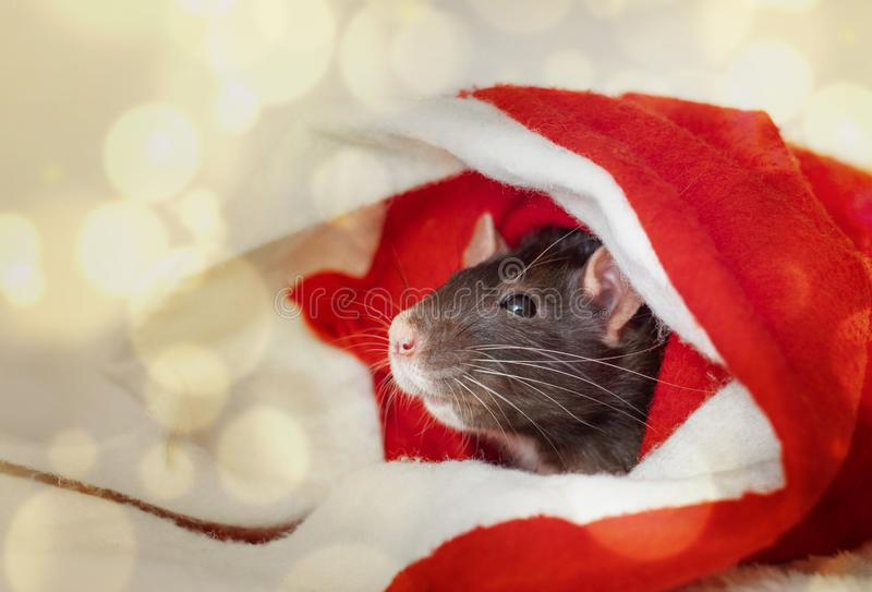 Christmas rat in red santa claus hat. New year card mouse. Symbol chinese lunar horoscope. boke lights. copyspace royalty free stock photos