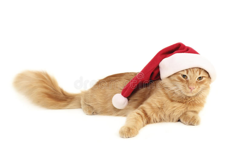 Christmas red cat. Isolated on white background royalty free stock image