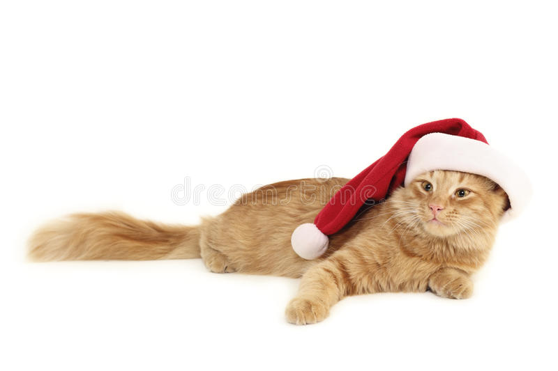 Christmas red cat. Isolated on white background royalty free stock photo