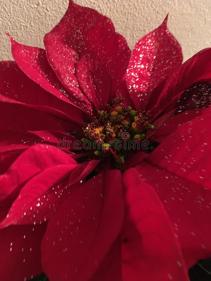 Christmas Red Pointsetta. Red Christmas pointsetta flier with glitter royalty free stock photo