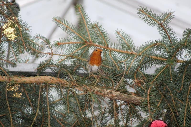 Christmas Robin royalty free stock photo