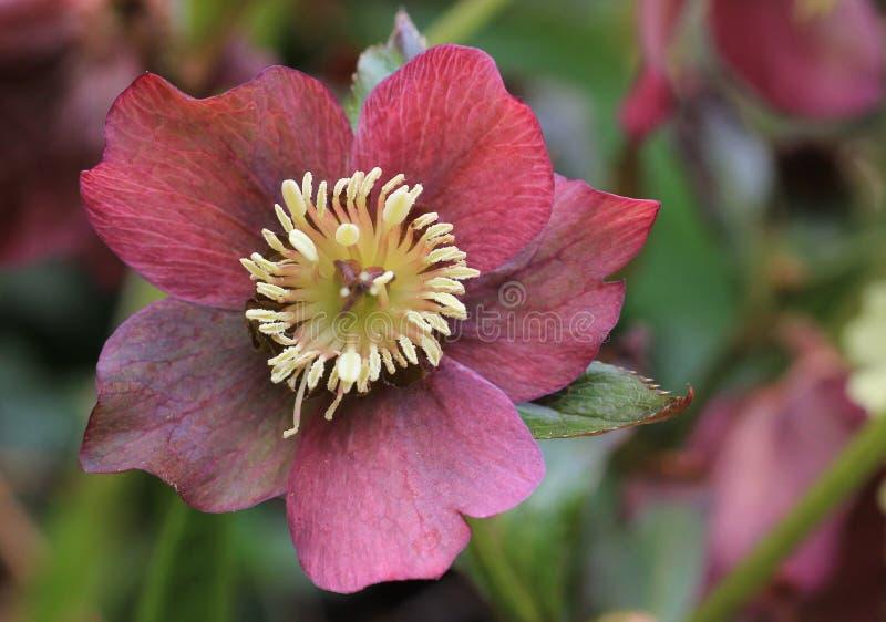 Christmas rose flower macro royalty free stock image