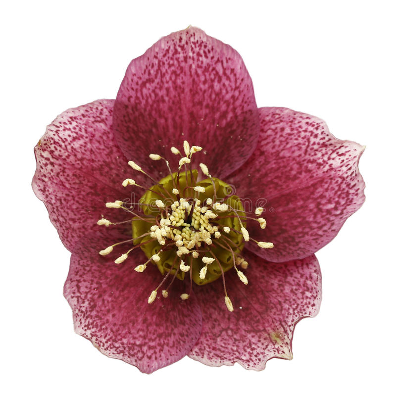 Christmas rose (Helleborus niger) stock photos