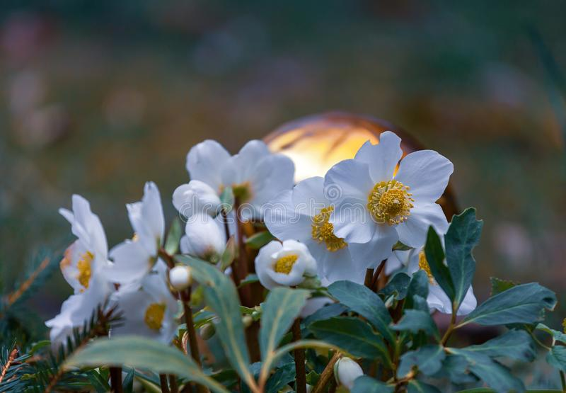 Christmas rose, Helleborus niger. White flowers of Helleborus Niger stock images