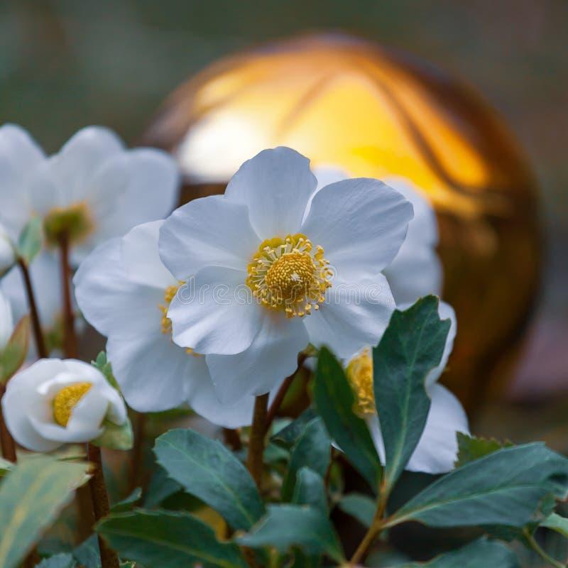 Christmas rose, Helleborus niger. White flowers of Helleborus Niger stock photos