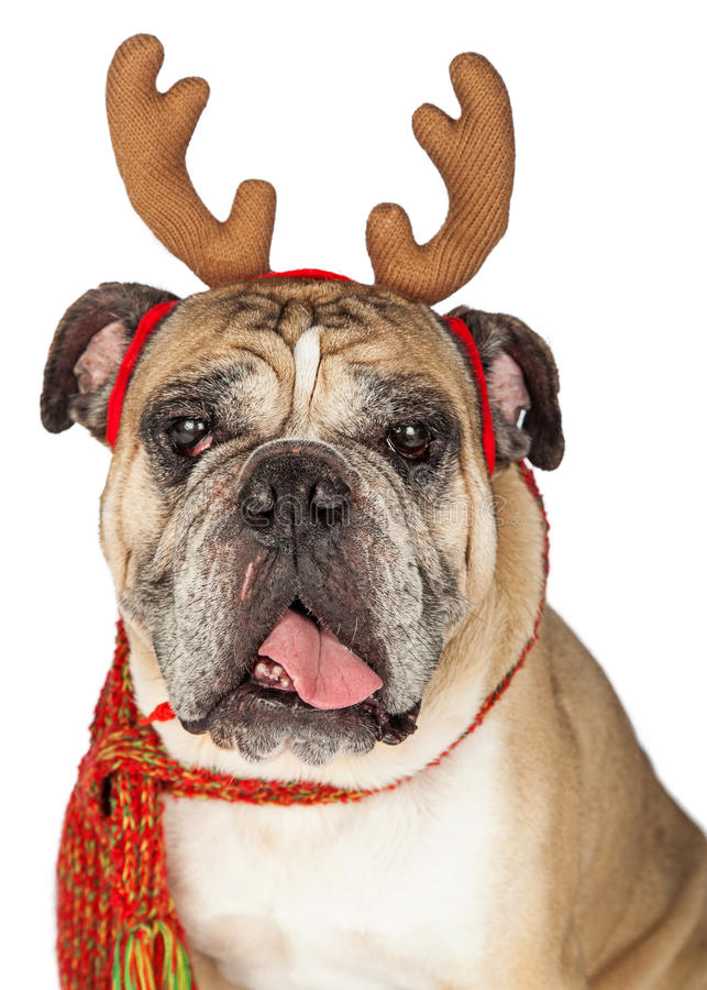 Christmas Santa BullDog With Reindeer Antlers. Closeup image of a cute Bulldog breed dog wearing Christmas reindeer antlers and a scarf stock image