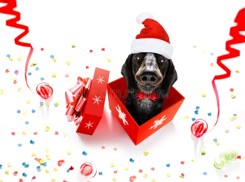 Christmas santa claus dog. Christmas santa claus dachshund sausage dog as a holiday season surprise out of a gift or present box with red hat , isolated on white stock photos