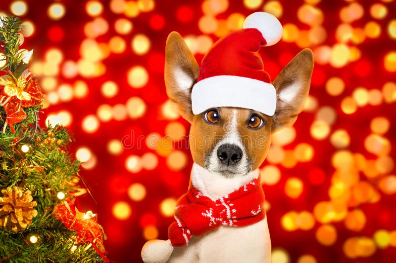 Christmas santa claus dog. Christmas santa claus jack russell dog with blur lights background with red hat , behind ,xmas decoration tree funny crazy silly eyes stock photo