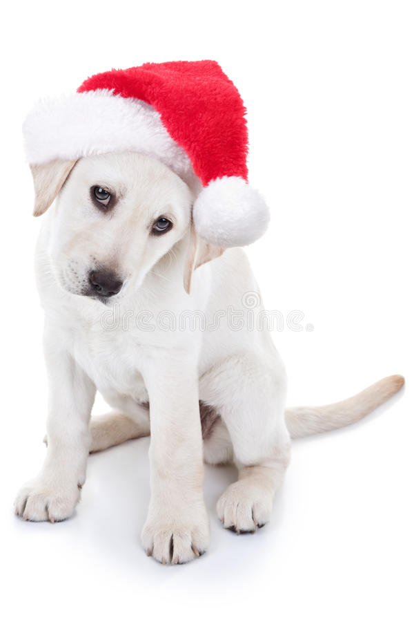 Christmas Santa Dog. Christmas Labrador puppy dog wearing Santa hat stock photos