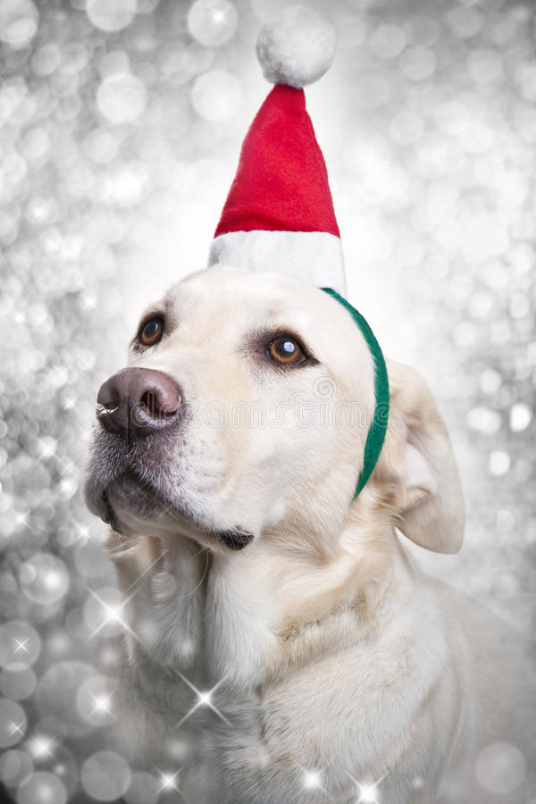 Christmas Santa Hat Sparkle Dog. A Labrador dog wearing a santa hat with a white sparkle background.Please see similar image no. 25871305 as well royalty free stock image