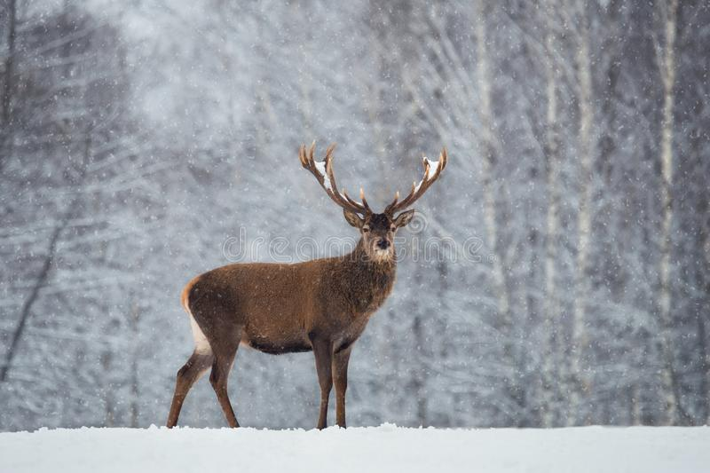 Christmas Scenic Wildlife Landscape With Red Noble Deer And Falling Snowflakes.Adult Deer Cervus Elaphus, Cervidae With Snow-Co royalty free stock images