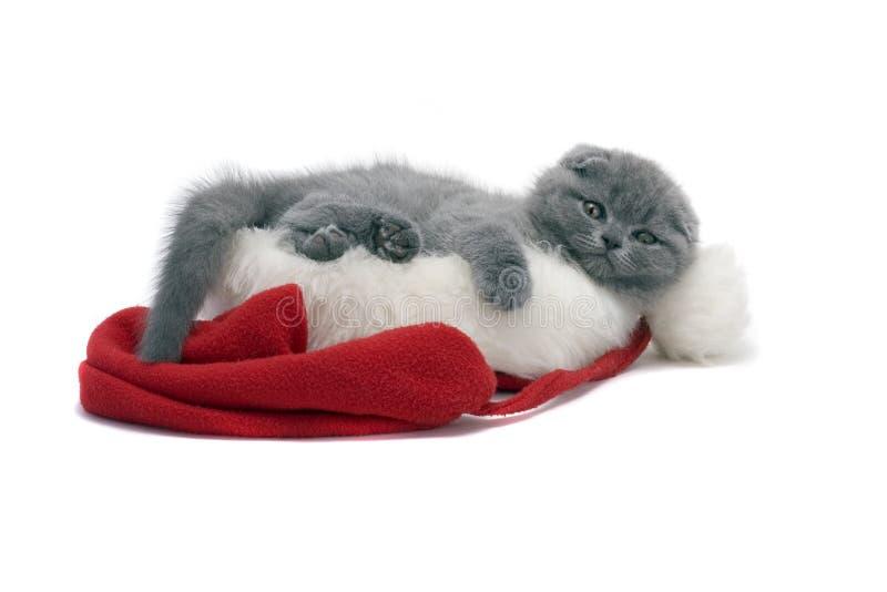 Christmas scottish fold kitty. Laying in Santa hat stock photo