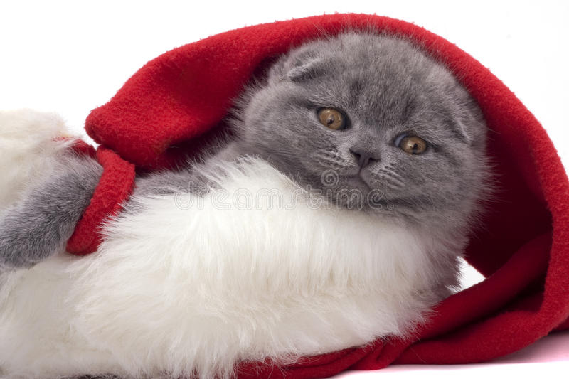 Christmas scottish fold kitty. Laying in Santa hat royalty free stock images