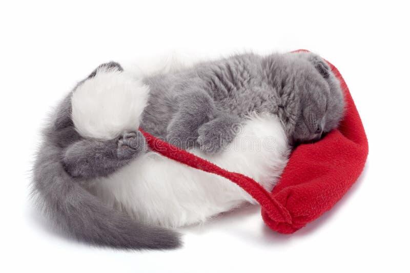 Christmas scottish fold kitty. Laying in Santa hat stock photography
