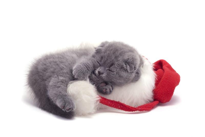 Christmas scottish fold kitty. Laying in Santa hat royalty free stock photo