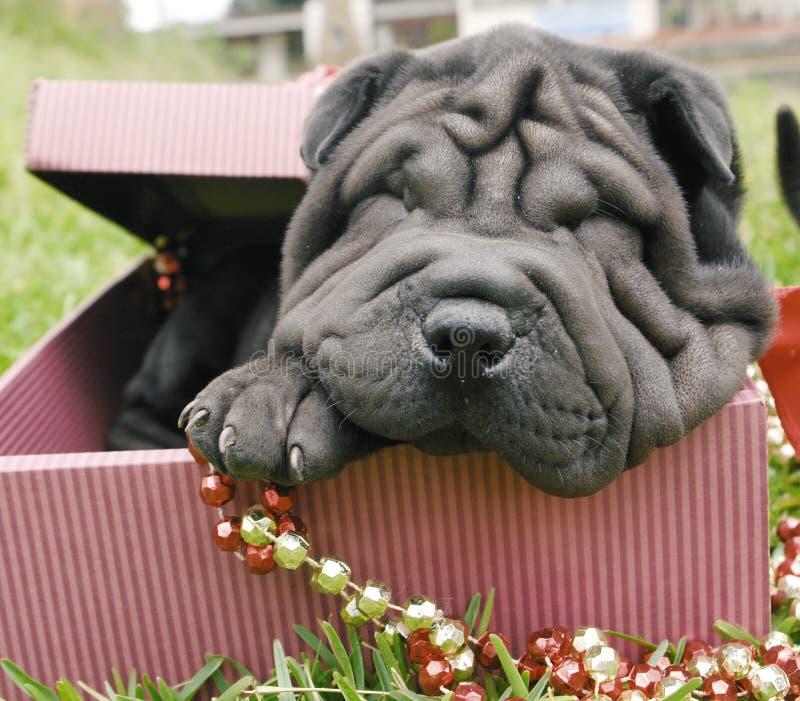 Christmas shar pei royalty free stock images