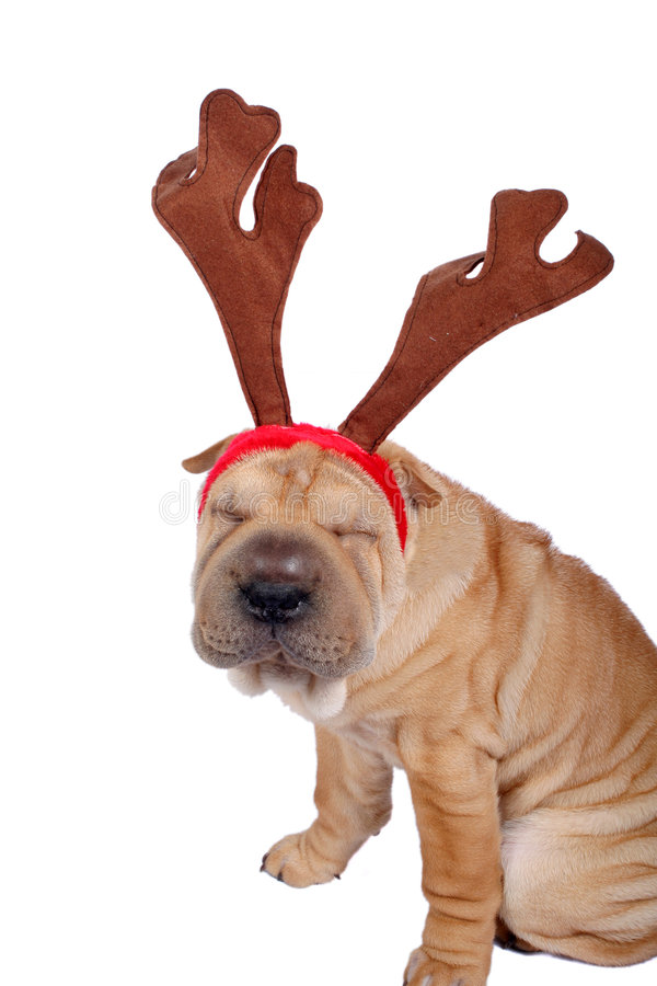 Christmas sharpei dog royalty free stock photos