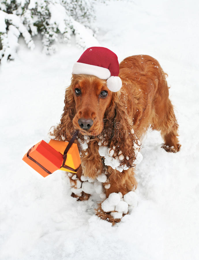 Christmas Spaniel in Snow bearing Gifts royalty free stock images
