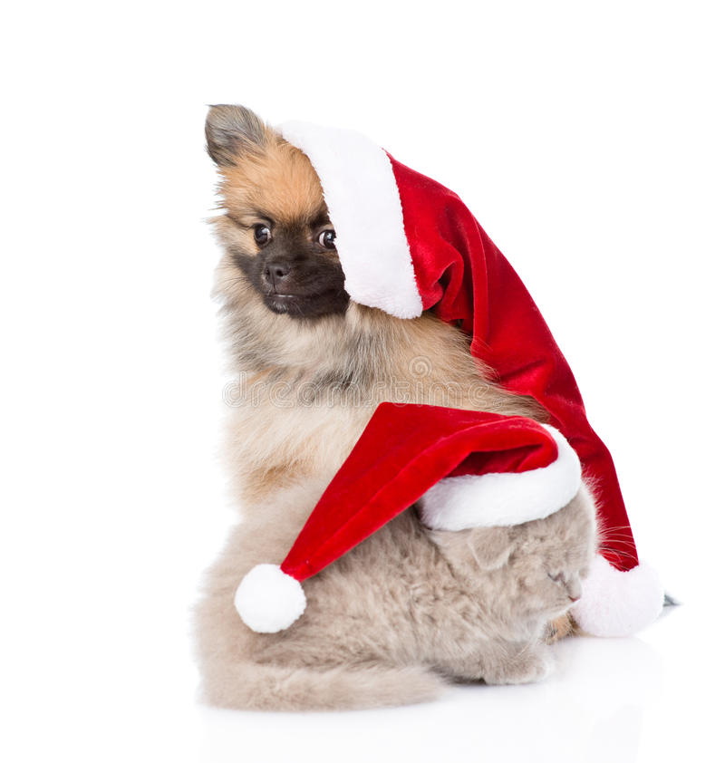 Christmas spitz puppy and scottish kitten in santa hats. isolated. On white royalty free stock images