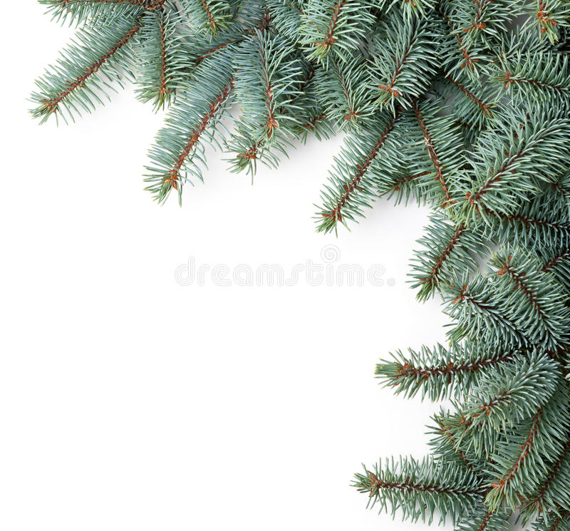 Christmas Spruce. Branches of silver spruce on white background. Copy space stock photos