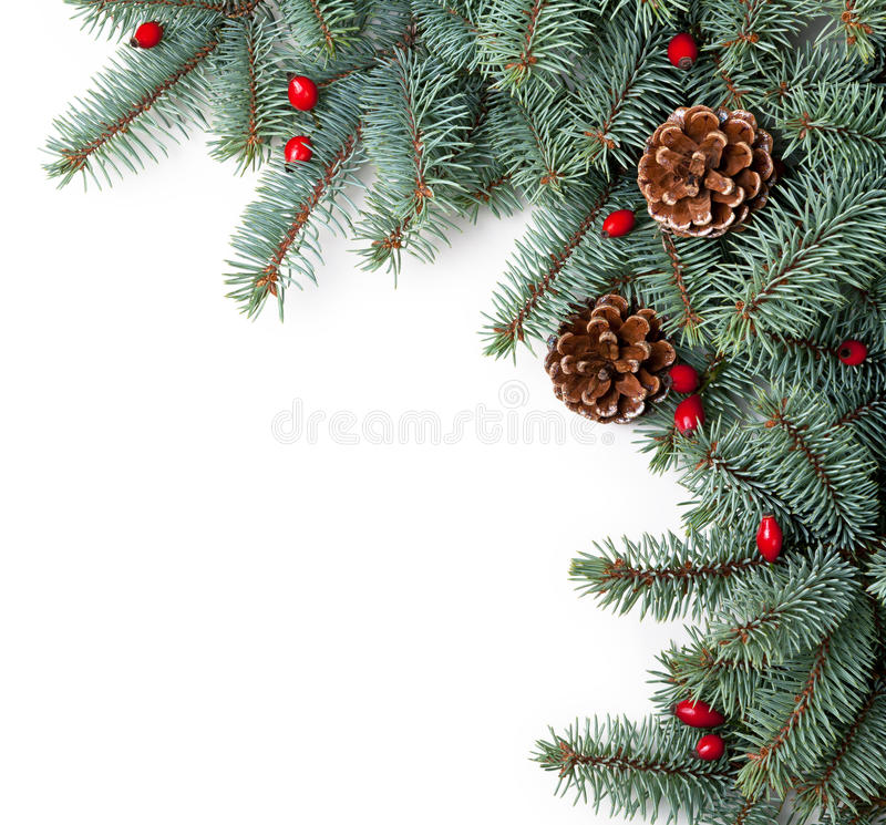 Christmas Spruce. Branches of silver spruce with cones and briar on white background. Copy space stock images