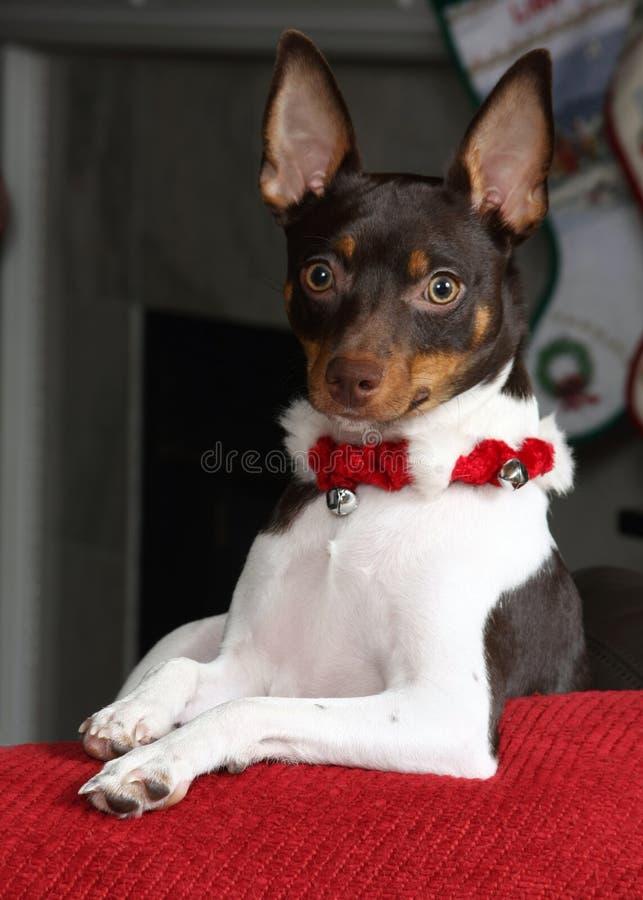 Download Christmas Terrier stock photo. Image of christmas, ears - 22375720