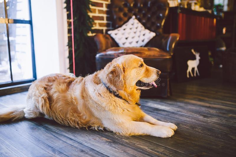Christmas theme and pets. An adult Golden Oetriver dog licks near the window on New Year`s holidays. Labrador purebred royalty free stock image