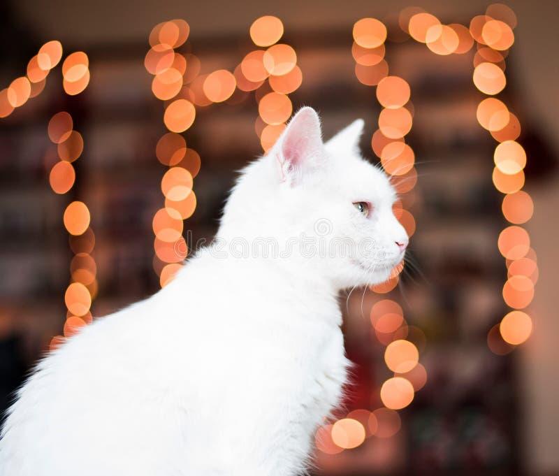 Christmas time cat. White cat enjoying cozy Christmas lights