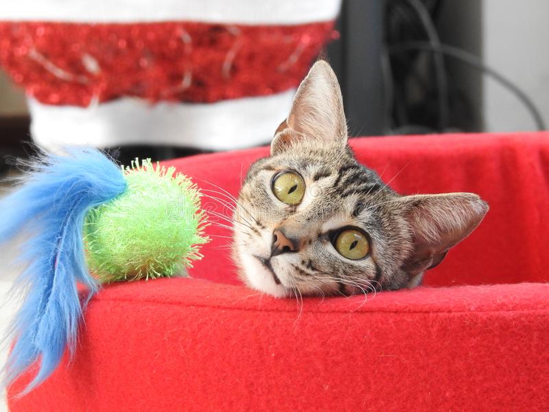 Christmas time for Kitty. This Costa Rican Kitty is enjoying his new bed and new toy for Christmas royalty free stock image