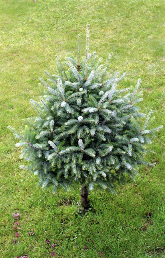 Download Christmas Tree Royalty Free Stock Photo - Image: 3517705