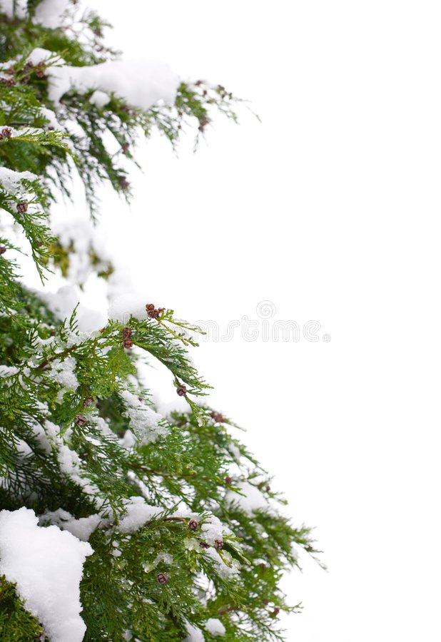 Christmas tree border. Snow-covered christmas tree border, isolated against a white background with copy space royalty free stock photography