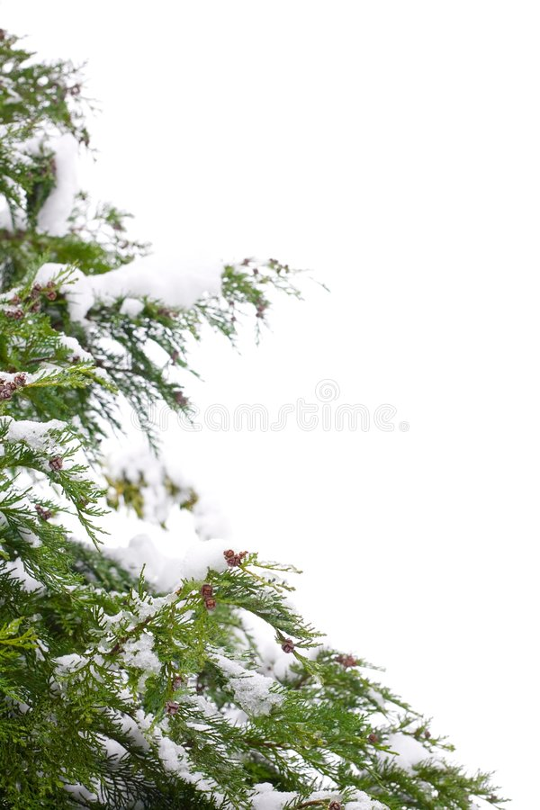 Christmas tree border. Snow-covered christmas tree border, isolated against a white background with copy space stock images