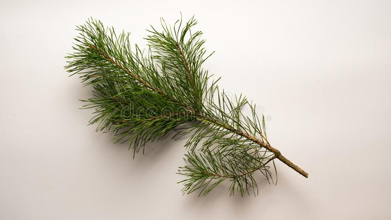 Christmas tree, green lush, pine fir, pine branch, pine tree, white background, stock photo, shutterstock royalty free stock image