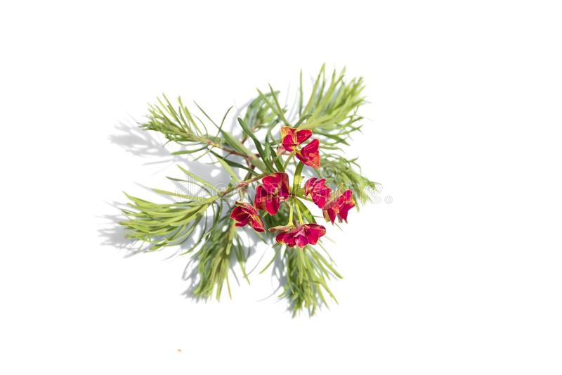 Christmas Tree branch with red flowers, top view, flat lay, isolated on white background stock images