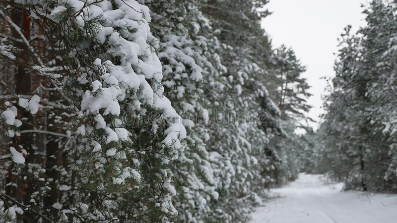 Christmas tree branch in snow pine winter fairy nature forest landscape. Christmas tree branch in snow pine winter fairy a nature forest landscape stock photos