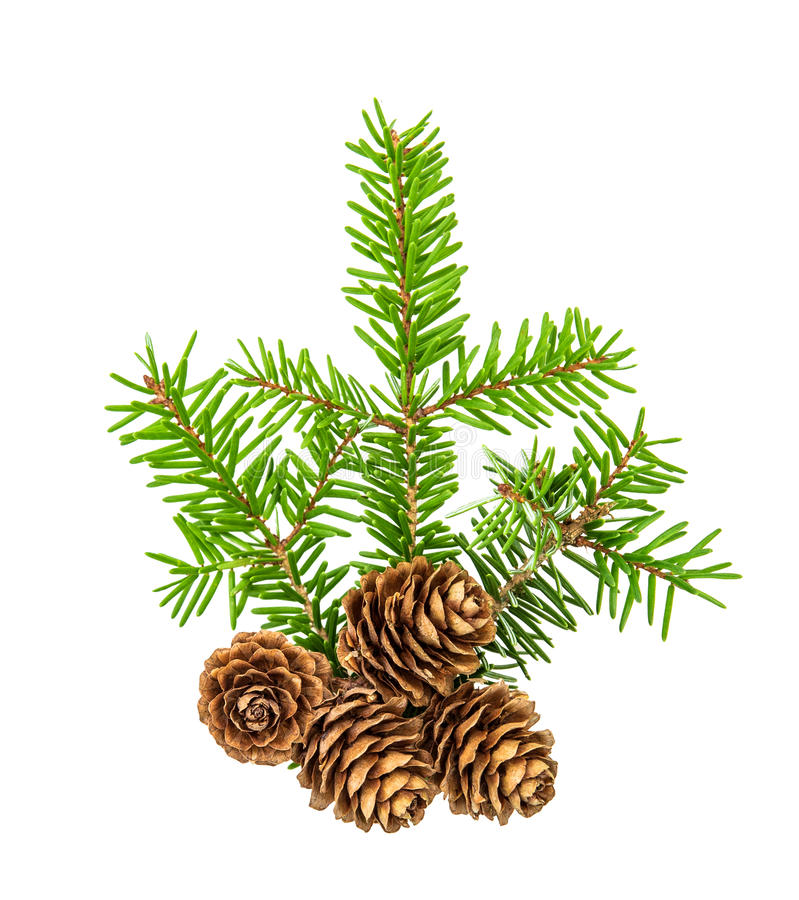 Christmas tree branches white background Pine sprig spruces. Christmas tree branches isolated on white background. Pine sprig with spruces. Fresh green fir stock images