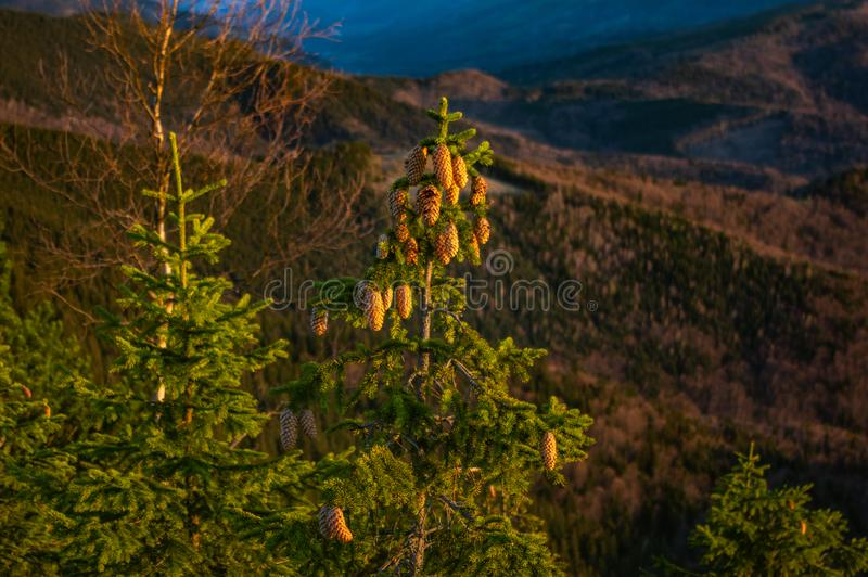Christmas tree cones in the mountains royalty free stock photography