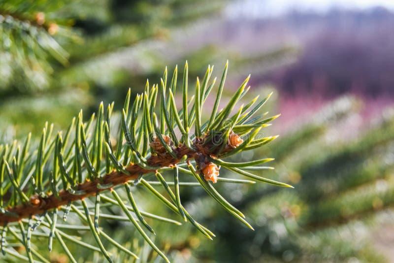 A Christmas tree farm. A close up capture of a beautiful pine tree stock photography