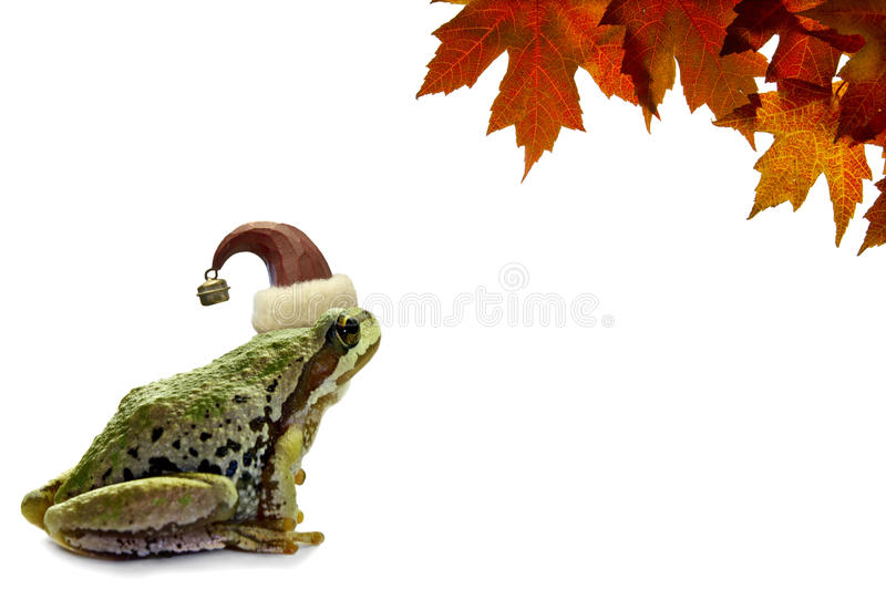 Christmas Tree Frog Sitting with Red Maple Leaves. Christmas Tree Frog Sitting on White Background with Red Maple Leaves stock photo