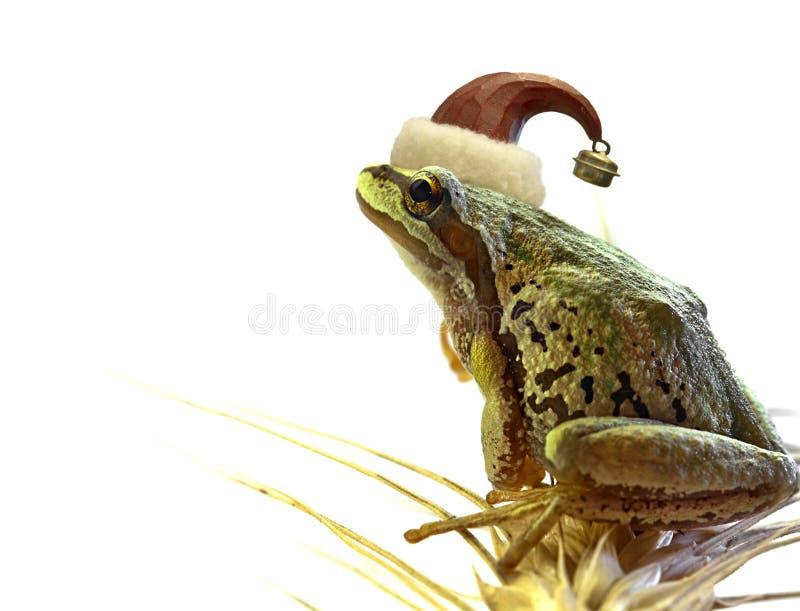 Christmas Tree Frog Sitting on Stalk of Wheat. ChristmasTree Chorus Frog Sitting on Top of Wheat Stalk stock image