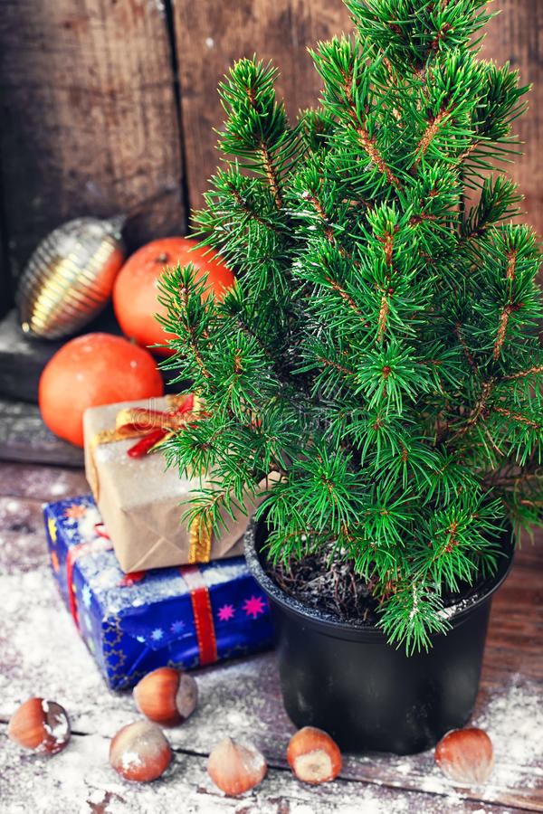 Christmas tree in pot. Christmas tree in a pot on background of oranges and boxes of gifts royalty free stock photos