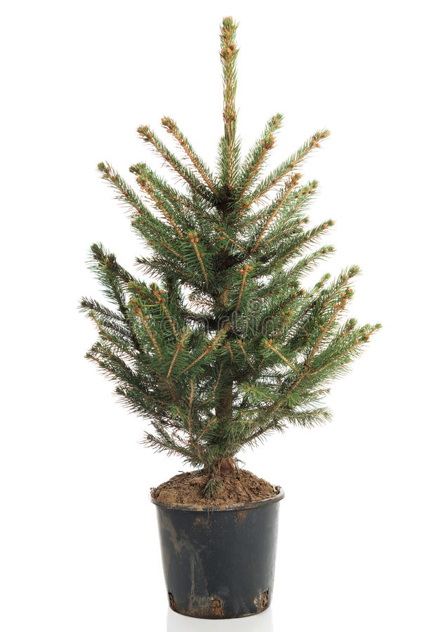 Christmas tree in a pot. Small, real undecorated bare Christmas tree in a pot royalty free stock image